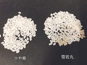 つや姫と雪若丸の粒の大きさ比べ