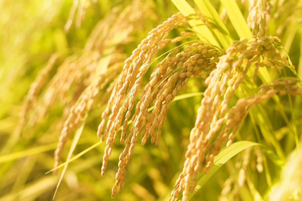 稲の漢字の由来は?